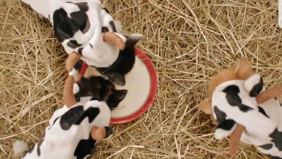 Dass die Kätzchen aus einer Schale Milch trinken, stößt manchem Kommentator sauer auf.