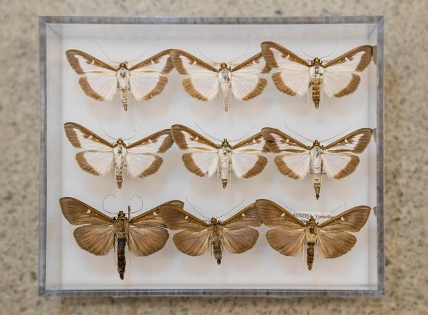 Die Falter, in weißer oder brauner Farbe, flattern davon, um sich zu vermehren.