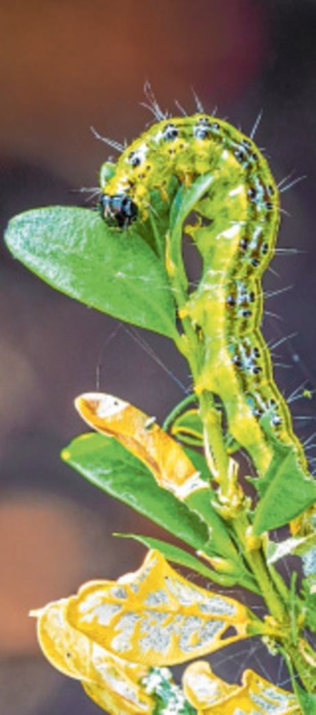 Die sichtbaren Spuren des Buchsfraßes: Die grünen Raupen fressen die frischen Blätter.