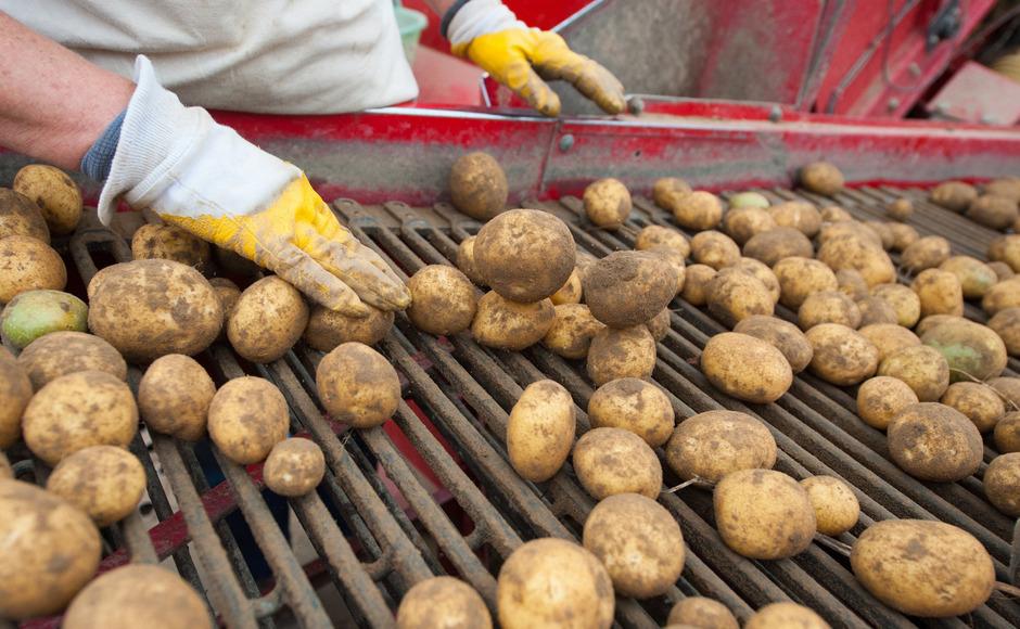 Nach dem Engpass werden jetzt wieder österreichische Kartoffeln geerntet. (Symbolbild)