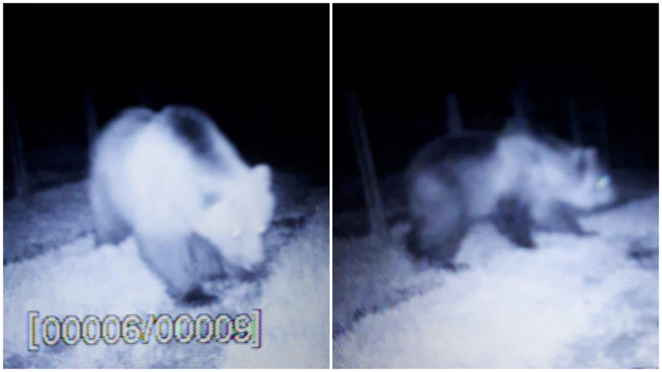 Eine Kamera filmte das Tier in der Nacht auf Donnerstag.