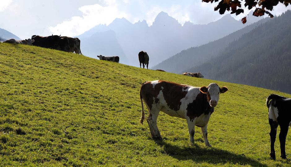 Eine Kuh grast pro Tag 80m² ab, bewegt sich aber auf der Alm auf einer größeren Fläche, sie sucht die besten Pflanzen.