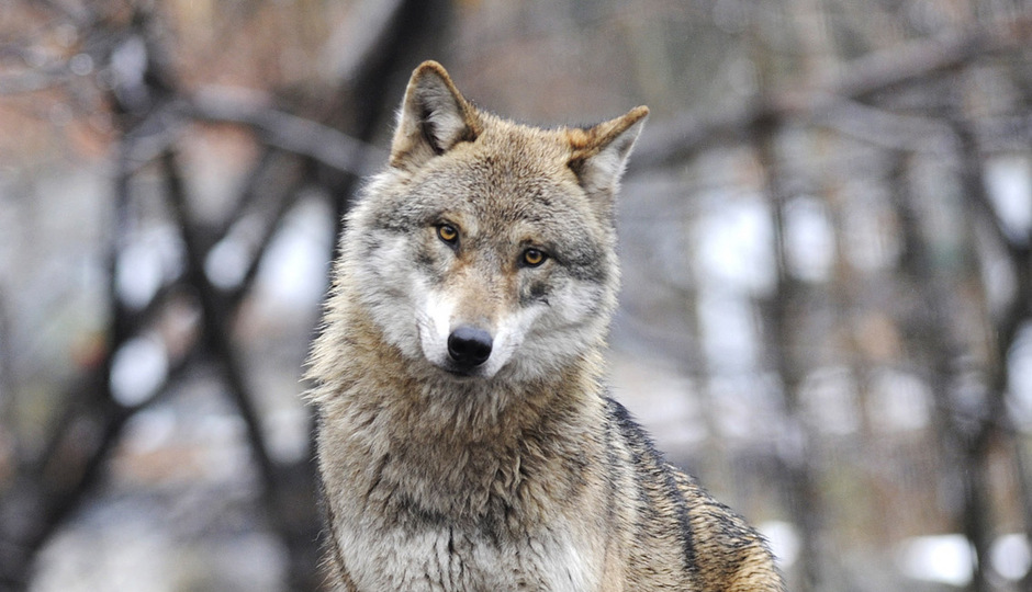 Die Verbreitung der Wölfe im Alpenraum wird von den Landwirten nicht gerne gesehen.