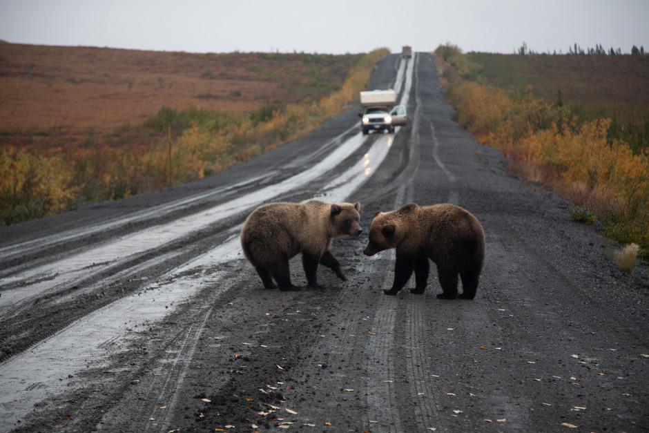 Begegnungen mit Grizzlybären sind nicht ungewöhnlich.