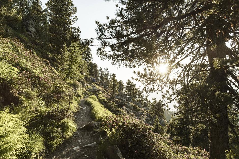 Der Zirbenweg verbindet Glungezer- und Patscherkofelbahn und führt durch einen der größten Zirbenbestände Europas.