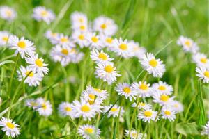 Blüten, Blätter und Stiele, die essbaren Teile der Gänseblümchen, wirken laut Volksmedizin hustenstillend und krampflösend. Übrigens: Bleiben die Blüten am Morgen geschlossen, wird es während des Vormittags Regen geben.