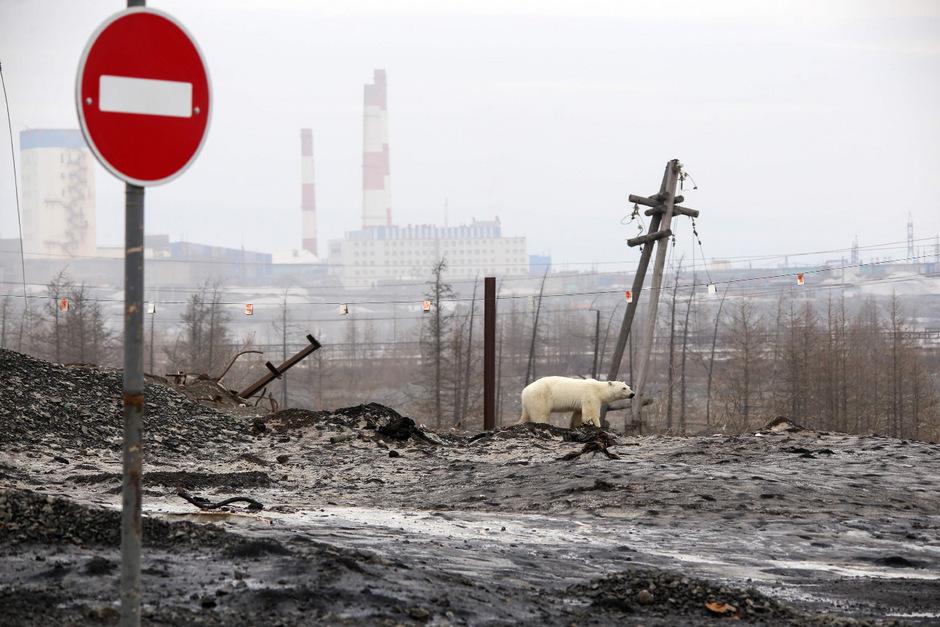 Der Eisbär befand sich in Norilsk Hunderte Kilometer außerhalb seines natürlichen Habitats.