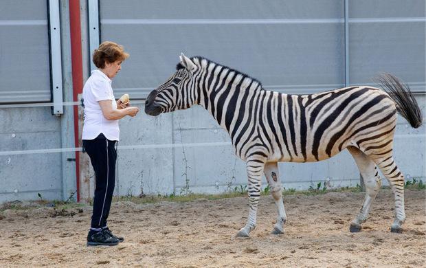 Auch Zebra Helmut findet sich am Schindlhof wohl.