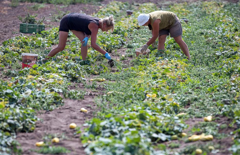 Die heimischen Gemüseproduzenten sind laut Landwirtschaftskammer mit hohen Lohnnebenkosten und wenigen Arbeitskräften konfrontiert. (Symbolbild)