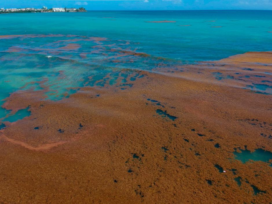 Ein Algenteppich vor der französischen Karibikinsel Guadeloupe.