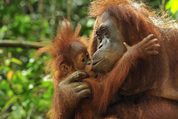 Auch Affen küssen sich.