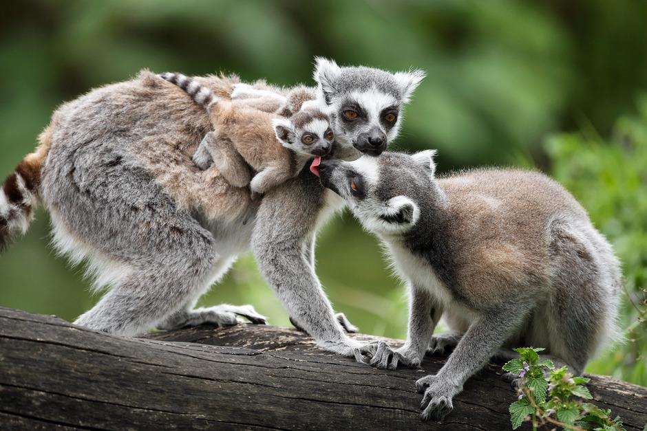 Bei den Kattas herrscht ein Matriarchat, das Weibchen führt die Gruppe an.