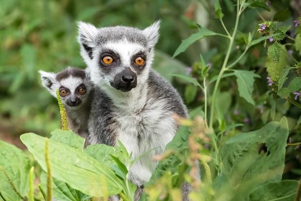 Heimisch sind Kattas ausschließlich auf der Insel Madagaskar.