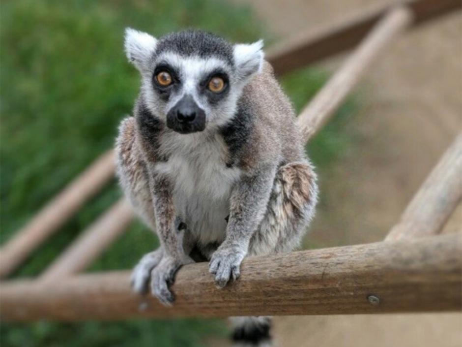 Isaac, der älteste lebende Lemur in Nordamerika.