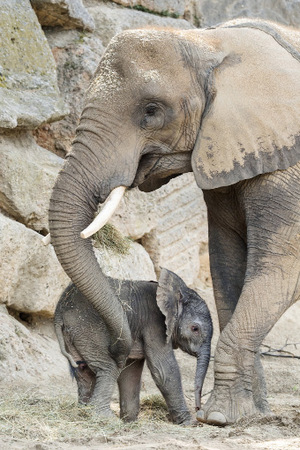 """Elefantenmama """"Numbi"""" lässt ihr Junges nicht aus den Augen."""