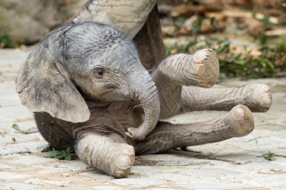 Das Elefantenmädchen ist anfangs noch etwas wackelig auf den Beinen.