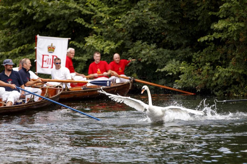 """Das """"Swan Upping"""" findet jedes Jahr im Juli statt."""
