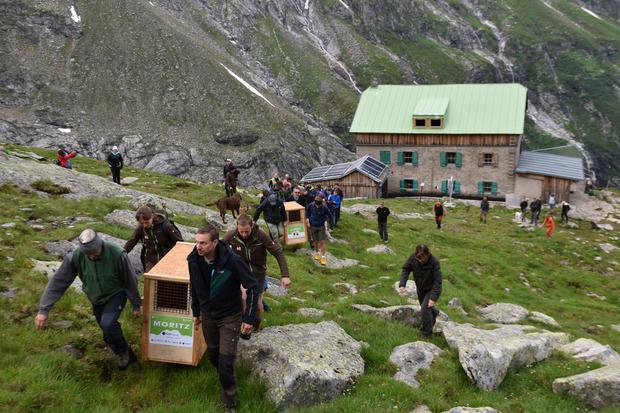 Der Weg bis zum idealen Platz für die Auswilderung oberhalb der Greizer Hütte war kein leichter für die Helfer.