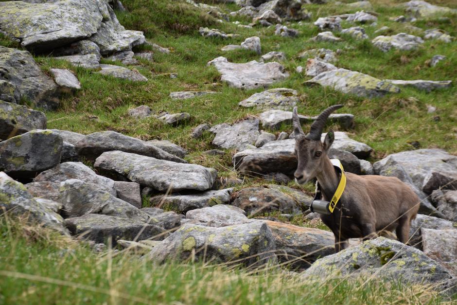 Der kleine Steinbock Moritz trägt einen Sender, der Aufschluss über seine Wanderschaft im Floitental gibt.