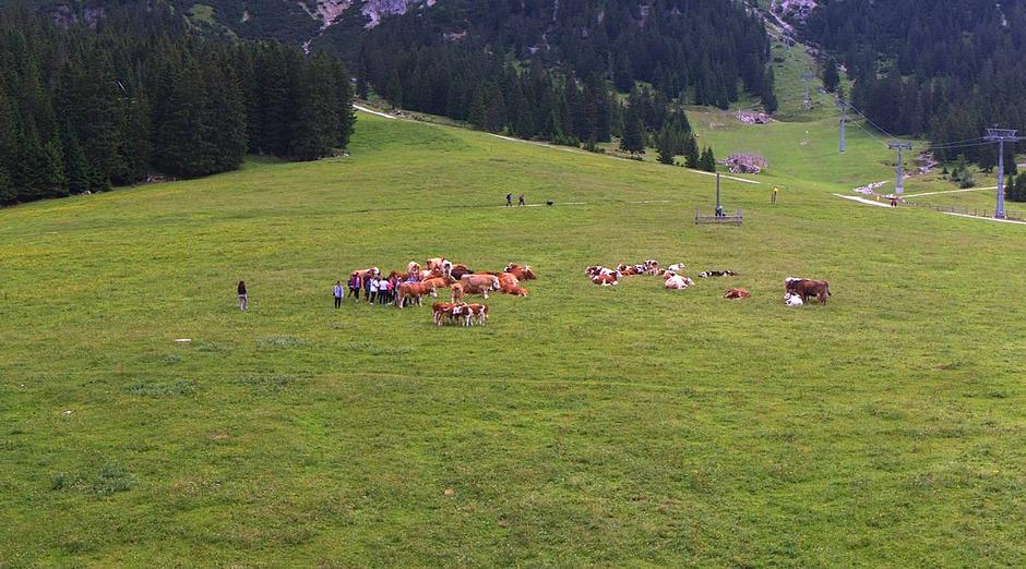 Eine Rinderherde und Wanderer auf der Ehrwalder Alm vereint. In diesem Fall ging die Streichel- und Selfieattacke gut aus.