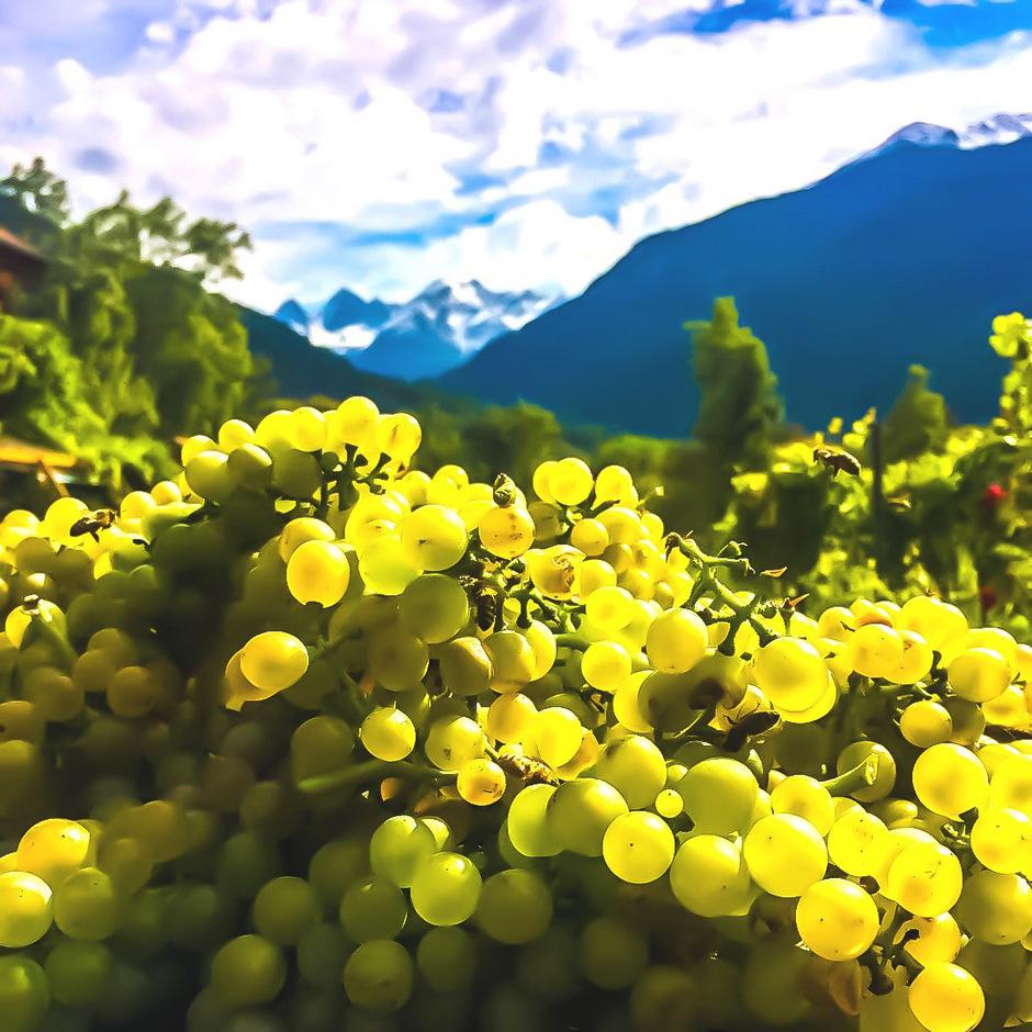 Der preisgekrönte Grüne Veltliner reift in Prutz, im Hintergrund winken die Kaunergratberge.