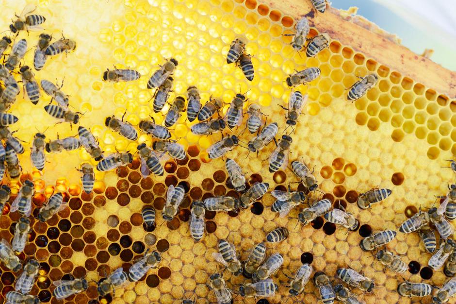 Dieses Wochenende beginnen in Tirol viele Imkerinnen und Imker mit der Honigernte.