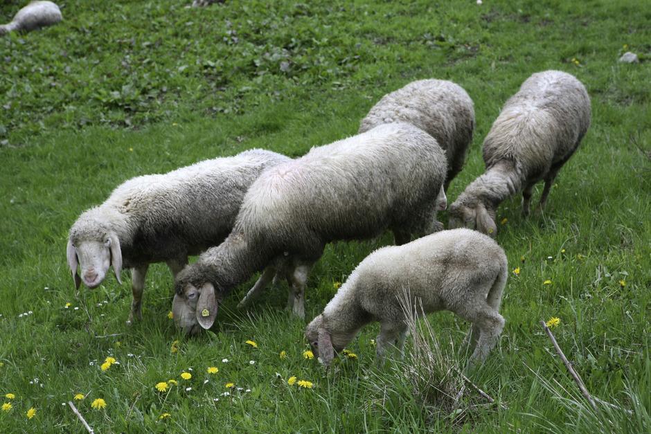 In den Sellrainer Bergen wurden in den vergangenen Tagen mehr als 20 Schafe gerissen. Die Verunsicherung ist groß.
