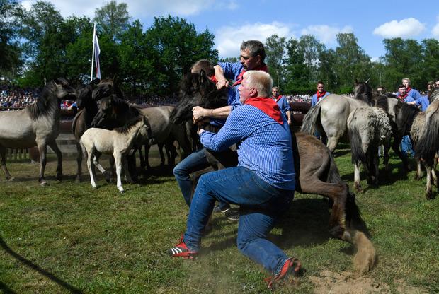 Nicht zimperlich geht es zur Sache, wenn die Junghengste von der Herde getrennt werden.