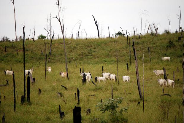 Der Amazonas-Regenwald muss in Brasilien immer stärker der Landwirtschaft weichen. Umweltschützer warnen deshalb vor einer Klimakatastrophe.