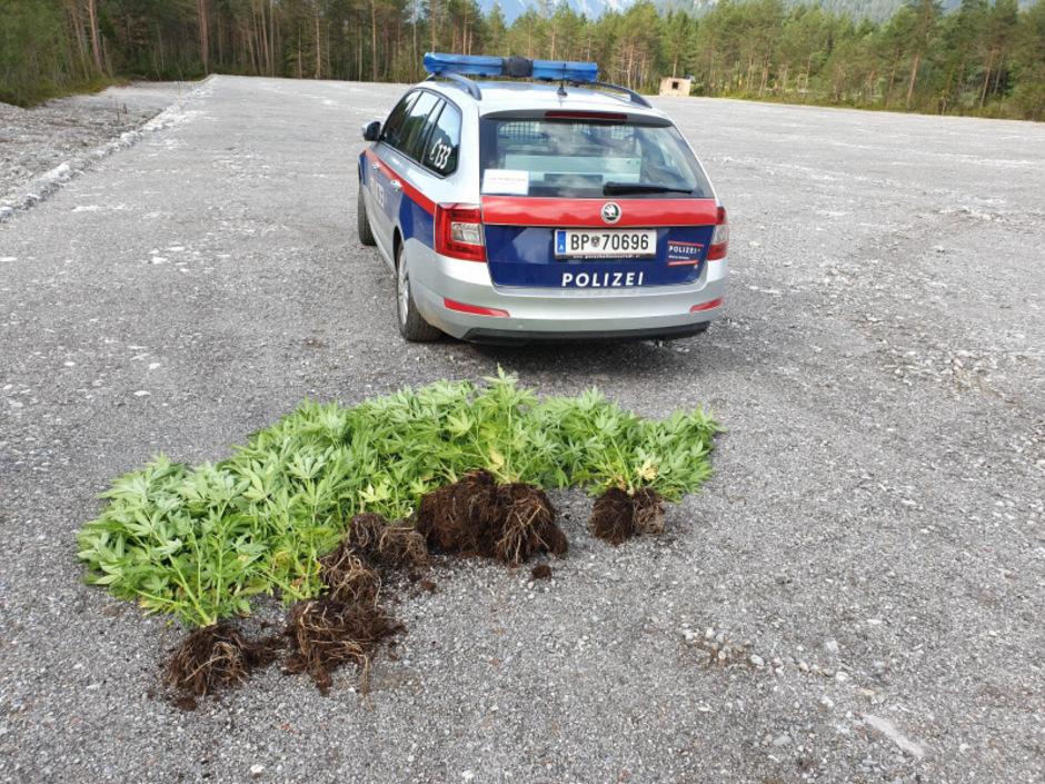 Die Polizei zerstörte die Pflanzen.