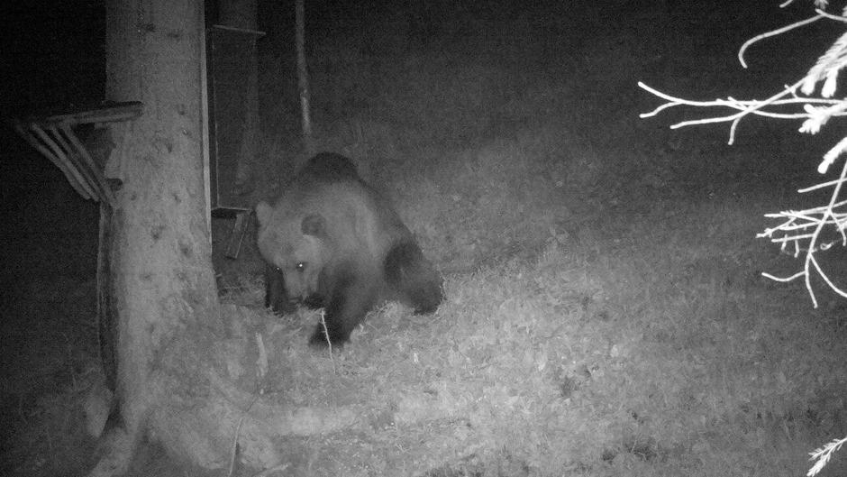 Ende Juni tappte ein Bär im Außerfern im Klausenwald in die Fotofalle.