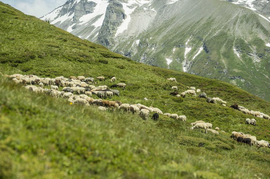 Bei Tirols Bauern geht die Angst vor Wolf und Bär um, nachdem mindestens zwei Dutzend Schafe gerissen wurden. Ob Zäune oder Hirtenhunde die Gefahr bannen können und wie viel solche Initiativen kosten würden, lässt das Land Tirol jetzt prüfen.