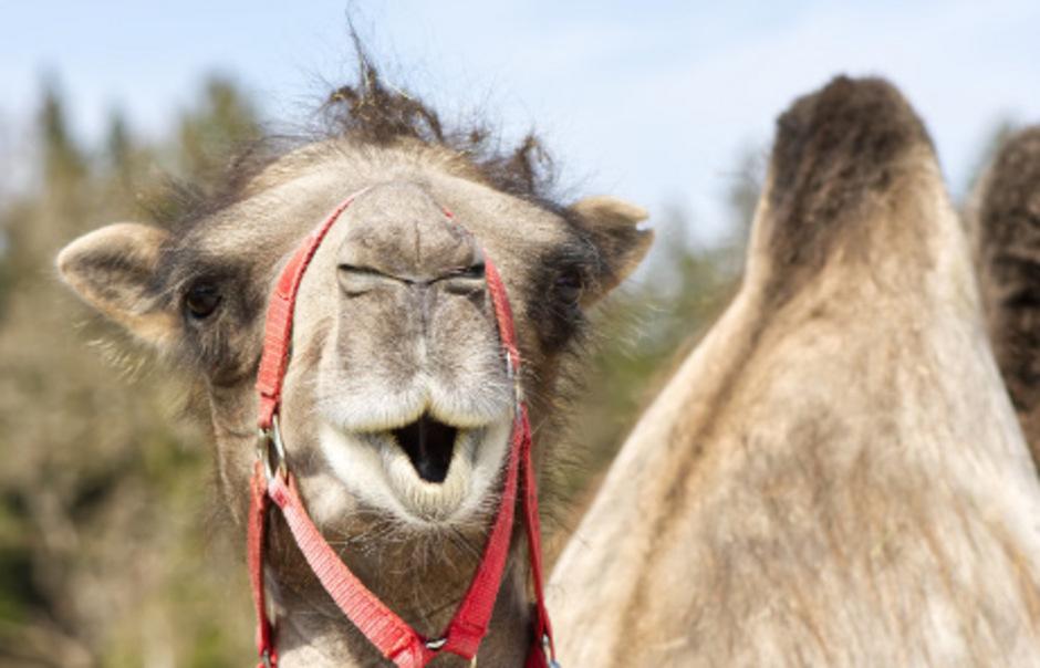 Kamel.