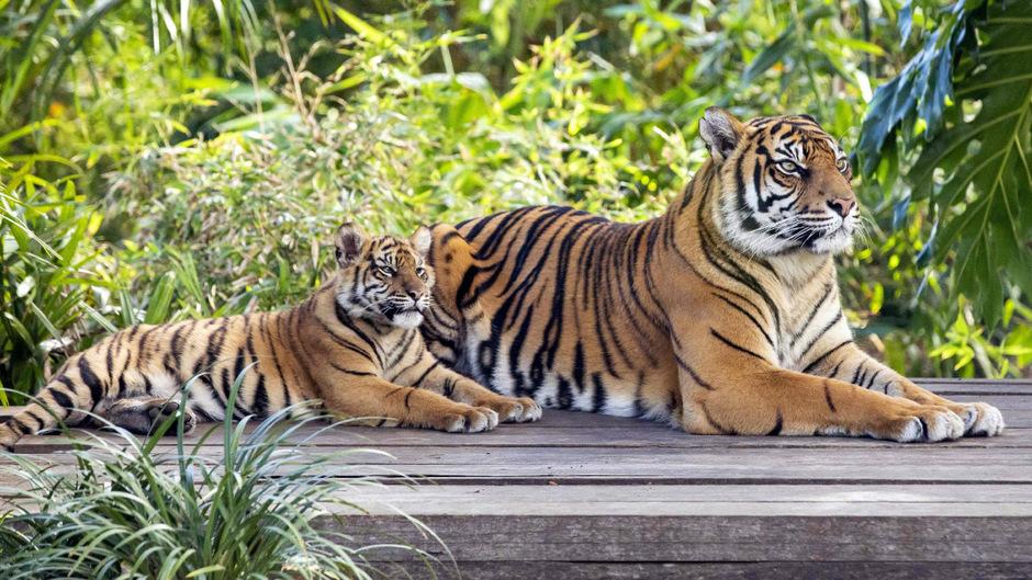 Weltweit gibt es immer weniger Tiger.