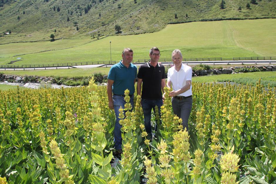 Markus und Hermann Lorenz begutachten mit Wendelin Juen (v. l.) von der Landwirtschaftskammer die Pflanzen. Sie gedeihen in Galtür ideal.