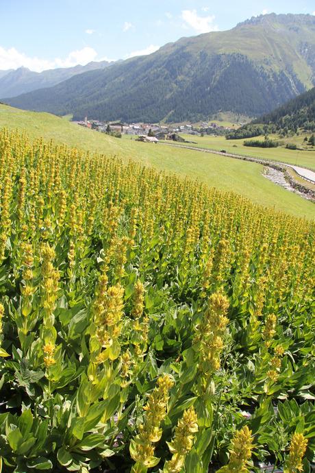 18.000 Enzian-Pflanzen gedeihen derzeit auf einem Feld hinter Galtür. Es ist der erste Versuchsanbau Tirols.