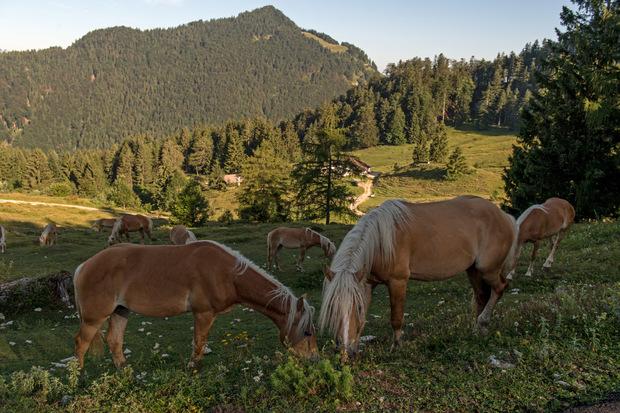 Die Haflinger dürfen sich auf 28 Hektar Almfläche austoben.