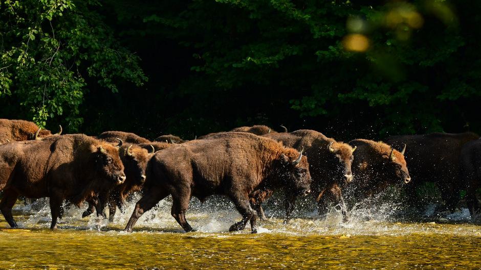 Eine Wisent-Herde trabt durch einen Bach.