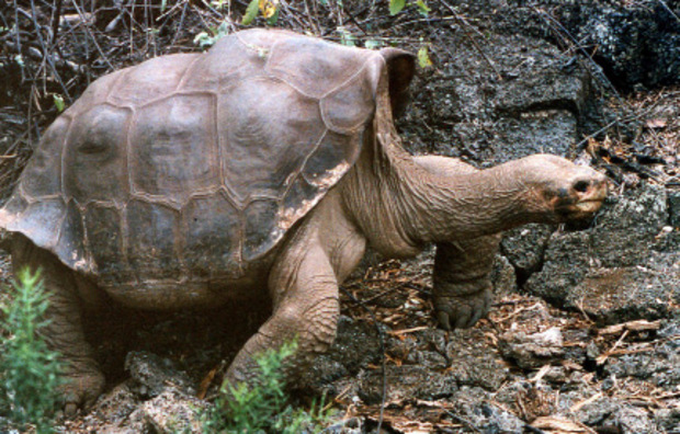 """Die Schildkröte """"Lonesome George"""" wurde ca. 100 Jahre alt. Schon heute könnten Menschen sein Alter einholen."""
