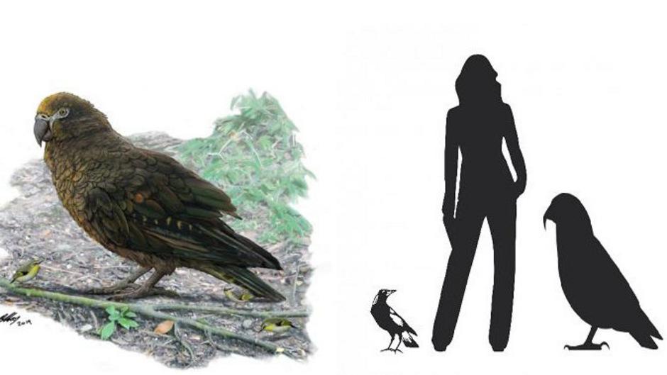 """Links: Eine Rekonstruktion des """"Heracles"""". Rechts: Der Riesen-Papagei im Größenvergleich."""