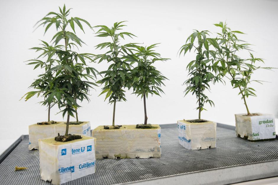 Solche Hanfpflanzen werden in Shops verkauft und großgezogen – der Anschein entscheidet, ob legal.