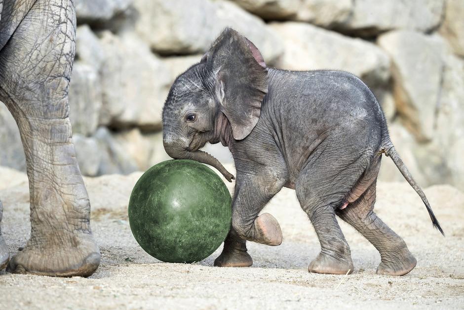 """Ein Student sammelt Daten für seine Masterarbeit zum Thema """"Frühe Mutter-Kind-Kommunikation bei Afrikanischen Elefanten im Zoo""""."""