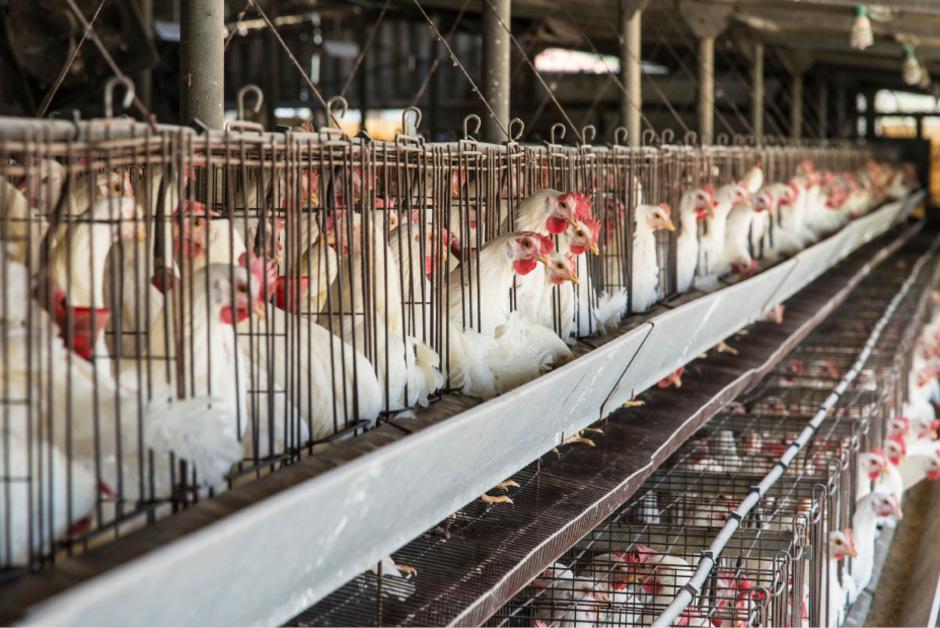 Bei Bayern-Ei vegetierten statt erlaubter 60 bis zu 133 Hühner in einem Käfig. Trotz Salmonellenseuche sollen Eier weiterverkauft worden sein.