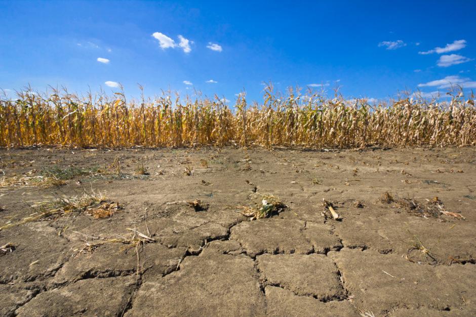 Der Anbau von Grundnahrungsmitteln wie Weizen, Mais und Reis wird zu 22 Prozent in Gebieten mit hohem Dürrerisiko betrieben.
