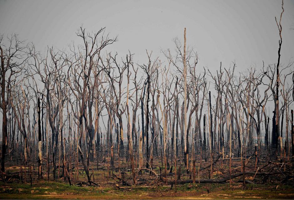 Nur noch verkohlte Baumstümpfe umgeben von Asche: Die Landschaft in Rondonia bietet ein trauriges Bild.
