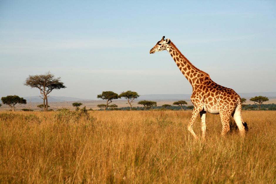 Auch der Giraffen-Bestand hat in den vergangen Jahrzehnten stark abgenommen.
