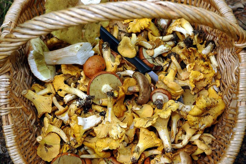 Maximal zwei Kilogramm Pilze pro Tag und Person dürfen in Tirols Wäldern gesammelt werden.