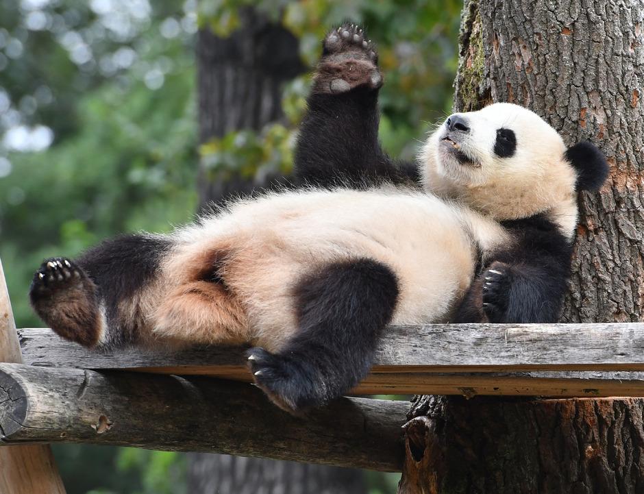 Panda-Dame Meng Meng.