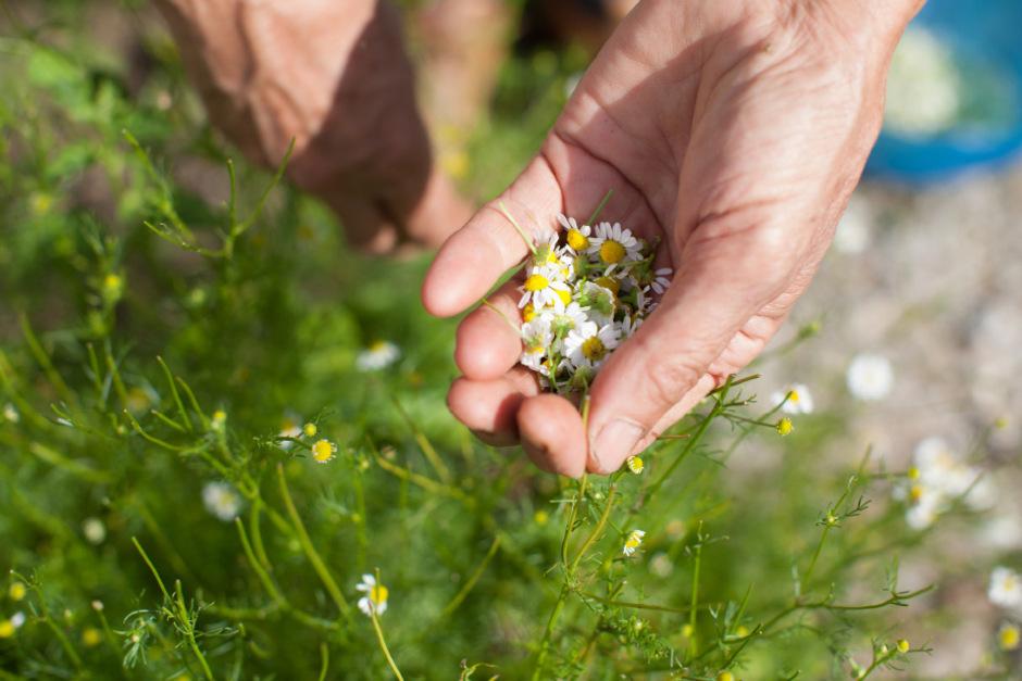 Die Kamille ist in der Volksmedizin schon lange etabliert. Über ihre Wirkung weiß man aber nur wenig.