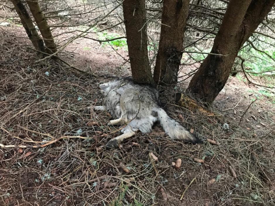 Der Tierkadaver wurde DNA-Tests unterzogen.